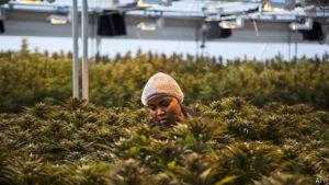 WeGROW Lesotho makes cannabis accessible worldwide